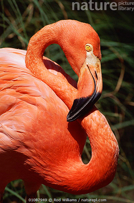 American (Rosy) flamingo portrait {Phoenicopterus ruber ruber} native to Galapagos & Caribbean  ,  BIRD,BIRDS,CAPTIVE,CARIBBEAN,GALAPAGOS,HEADS,NECK,NECKS,ONE,PINK,PORTRAIT,PORTRAITS,RED,ROSY,RWI,,West Indies  ,  Rod Williams