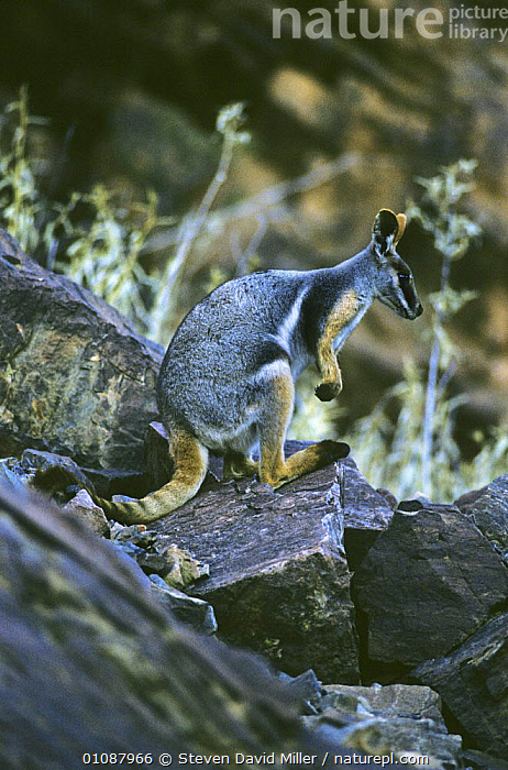 Yellow footed rock wallaby (Petrogale xanthopus) endangered species, Gawler Ranges, South Australia  ,  AUSTRALIA,CUTE,ENDANGERED,HABITAT,MAMMALS,MARSUPIALS,ROCKS,VERTEBRATES,VERTICAL,WALLABIES,YELLOW  ,  Steven David Miller