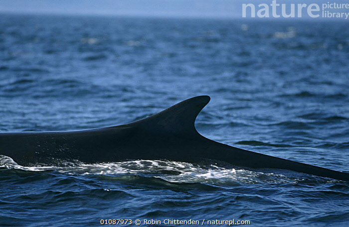 Fin whale at surface {Balaenoptera physalus} North East Canada, Atlantic.  ,  ATLANTIC,ATLANTIC OCEAN,CANADA,CETACEANS,ENDANGERED,FINS,MAMMALS,MARINE,PROFILE,SURFACE,VERTEBRATES,WHALES,North America,,Baleen whale,  ,  Robin Chittenden