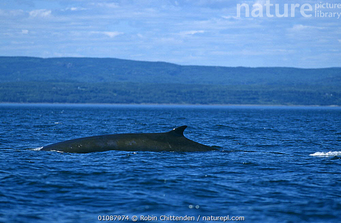 Fin whale {Balaenoptera physalus} at surface near coast, North East Canada, Atlantic.  ,  ATLANTIC,ATLANTIC OCEAN,CANADA,CETACEANS,ENDANGERED,FINS,LANDSCAPES,MAMMALS,MARINE,SURFACE,VERTEBRATES,WHALES,North America,,Baleen whale,  ,  Robin Chittenden