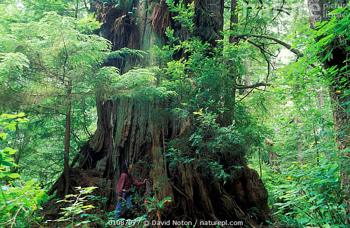 Woman standing next to Giant cedar tree, Meares Island, Clayoquot Sound Vancouver Is BC  ,  WALKING,WOODLANDS,LANDSCAPES,TREES,FORESTS,SIZE,HUGE,TRUNKS,LEAVES,PEOPLE,BARK,PLANTS ,CANADA,North America  ,  David Noton