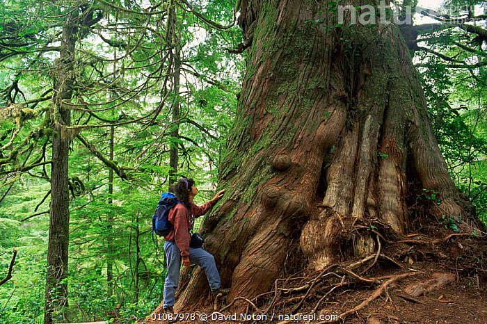 Woman standing next to Giant cedar tree, Meares Island, Clayoquot Sound, Vancouver Island, British Columbia, Canada  ,  BARK,CANADA,FORESTS,LEAVES,NORTH AMERICA,PEOPLE,SIZE,STANDING,TEMPERATE,TREES,TRUNKS,WOMAN,WOODLANDS,Plants  ,  David Noton