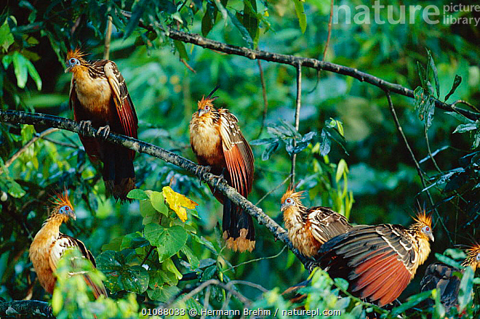 Hoatzins perched in tree {Opisthocomus hoazin}  Peru, South America, BIRDS,FOREST,GROUPS,HORIZONTAL,PERU,SOUTH AMERICA,TB,TREES,PLANTS, Hermann Brehm