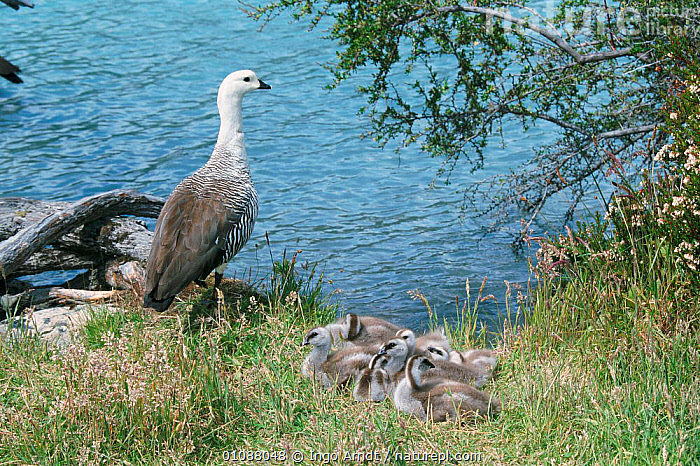 Magellan goose {Chloephaga picta} with goslings beside water, Torres del Paine NP, Patagonia, Chile, Andes,BABIES,BIRDS,CHICKS,FAMILIES,GEESE,NP,RESERVE,SOUTH AMERICA,VERTEBRATES,WATERFOWL,National Park, Ingo Arndt