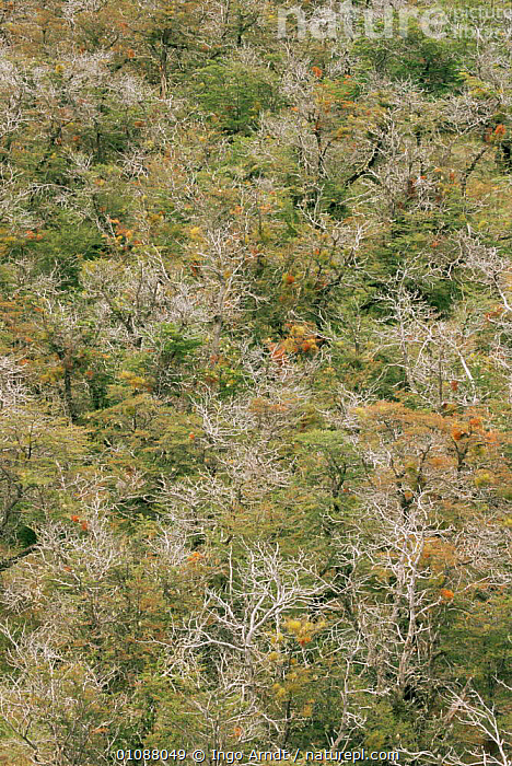 Aerial view of forest Torres del Paine NP, Patagonia, Chile, CANOPY,MIXED WOOD,NP,RESERVE,SOUTH AMERICA,TREES,TROPICAL,VERTICAL,WOODLANDS,Plants,National Park,SOUTH-AMERICA, Ingo Arndt