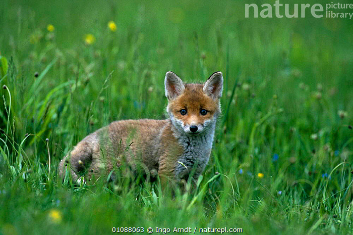 Red fox cub in grass {Vulpes vulpes} Austria, AUSTRIA,BABIES,CARNIVORES,CUB,CUTE,EUROPE,GRASS,GRASSLAND,HORIZONTAL,IAR,MAMMALS,MEADOWS,ONE,PLANTS,DOGS,CANIDS, Ingo Arndt