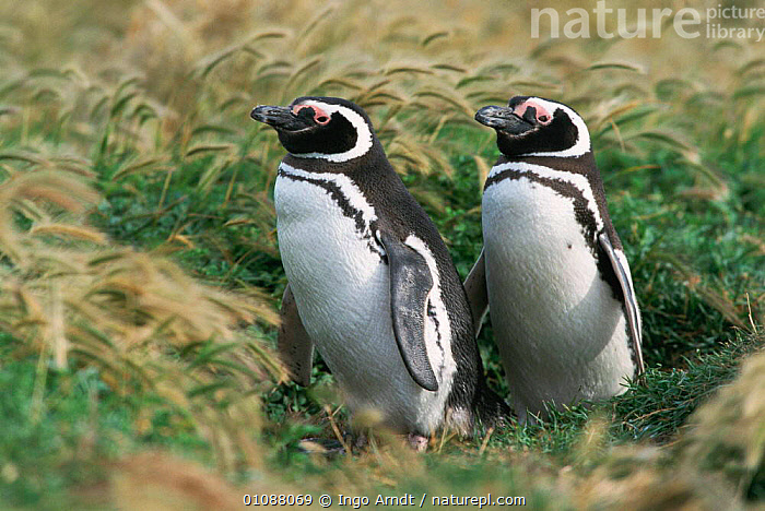 Magellanic penguin pair {Spheniscus magellani} Patagonia, Chile, BIRDS,CHILE,FLIGHTLESS,HORIZONTAL,IAR,MALE FEMALE PAIR,PATAGONIA,SOUTH AMERICA,PENGUINS,SEABIRDS, Seabirds, Ingo Arndt