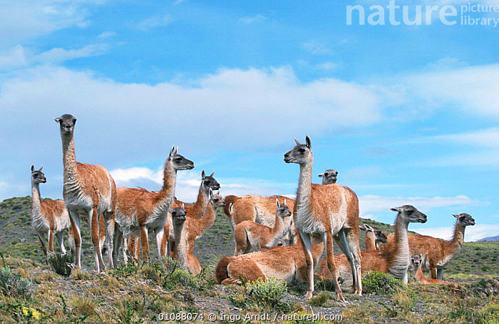 Guanaco herd {Lama guanicoe} Torres del Paine National Park, Patagonia Chile., ARTIODACTYLA,CHILE,GROUPS,LLAMAS,MAMMALS,NP,RESERVE,SOUTH AMERICA,National Park, Ingo Arndt