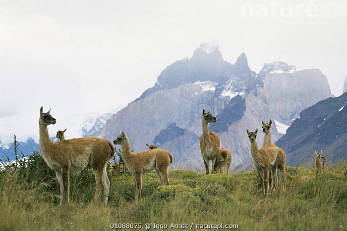 Guanaco herd with mountains behind {Lama guanicoe} Torres del Paine NP, Patagonia, Chile, ARTIODACTYLA,CAMELIDS,GROUPS,HORIZONTAL,LANDSCAPES,LLAMAS,MAMMALS,MOUNTAINS,NP,RESERVE,SOUTH AMERICA,VERTEBRATES,National Park, Ingo Arndt