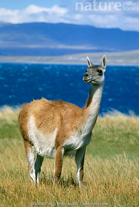 Guanaco {Lama guanicoe} Torres del Paine NP, Patagonia, Chile, ARTIODACTYLA,CHILE,GUANACOS,IAR,LANDSCAPES,MAMMALS,NP,ONE,PATAGONIA,PORTRAITS,RESERVE,SEA,SOUTH AMERICA,VERTICAL,NATIONAL PARK,Catalogue1, Ingo Arndt