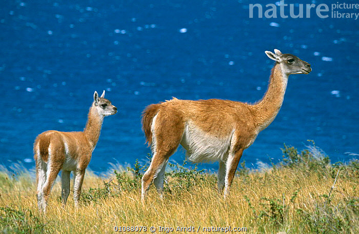 Guanaco with young {Lama guanicoe} Torres del Paine NP, Patagonia, Chile, ANDES,ARTIODACTYLA,BABIES,CAMELIDS,FAMILIES,LAKES,LLAMAS,MAMMALS,NP,RESERVE,SOUTH AMERICA,VERTEBRATES,National Park, Ingo Arndt