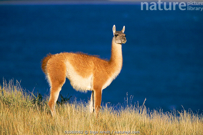 Guanaco {Lama guanicoe} Torres del Paine NP, Patagonia, Chile, ARTIODACTYLA,CHILE,HORIZONTAL,IAR,LANDSCAPES,MAMMALS,NP,ONE,PATAGONIA,PORTRAITS,PROFILE,RESERVE,SOUTH AMERICA,NATIONAL PARK, Ingo Arndt
