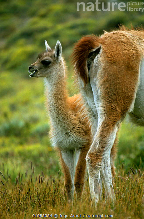 Guanaco {Lama guanicoe}young besdie mother, Torres del Paine NP, Patagonia, Chile, ANDES,ARTIODACTYLA,BABIES,CAMELIDS,FAMILIES,LLAMAS,MAMMALS,NP,RESERVE,SOUTH AMERICA,TAILS,VERTEBRATES,VERTICAL,National Park, Ingo Arndt