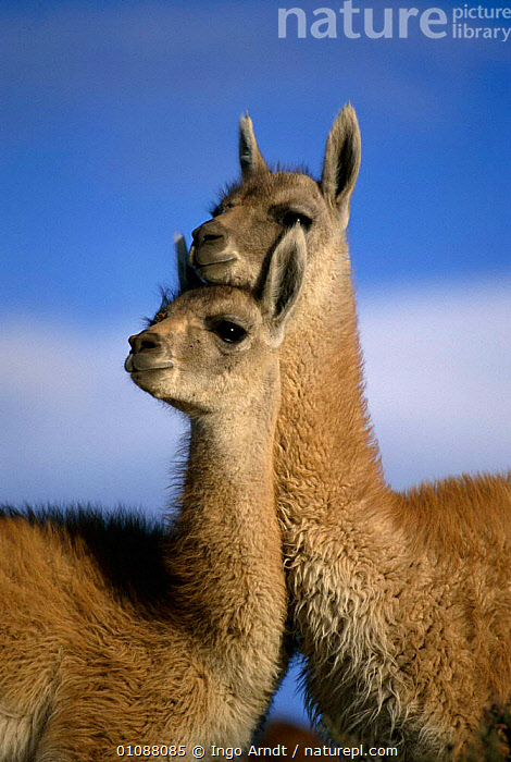 Guanaco juveniles {Lama guanicoe} Torres del Paine NP, Patagonia, Chile Not available for ringtone/wallpaper use., ARTIODACTYLA,CHILE,GUANACOS,HORIZONTAL,IAR,JUVENILE,MAMMALS,NP,PATAGONIA,PORTRAITS,SOUTH AMERICA,TWO,VERTICAL,YOUNG,NATIONAL PARK,Catalogue1,RINGTONE, Ingo Arndt