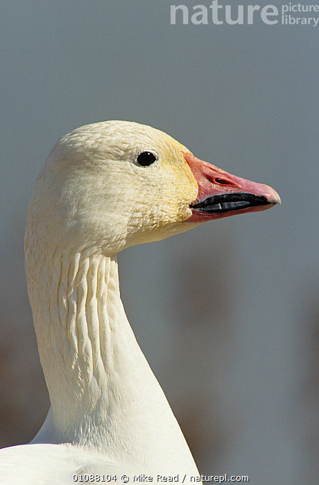 Snow goose {Chen caerulescens} adult portrait, Bosque del Apache NWR, New Mexico, USA, BIRDS, GEESE, HEADS, PORTRAITS, PROFILE, RESERVE, USA, VERTEBRATES, VERTICAL, WATERFOWL,North America, Mike Read