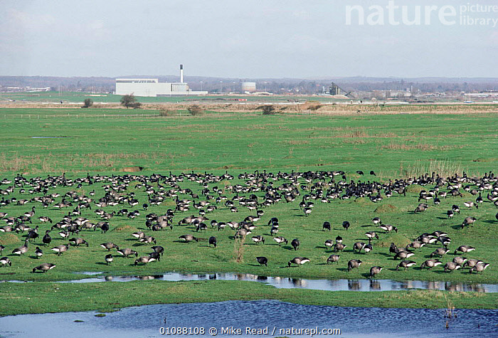 Brent geese grazing on water meadow, Farlington marshes, Hampshire, UK., HORIZONTAL,LANDSCAPES,BUILDINGS,BIRDS,FLOCKS,EUROPE,ENGLAND,ENERGY,WETLANDS,WATERFOWL,UK,RESERVE,United Kingdom,British,Wildfowl, waterfowl, Mike Read