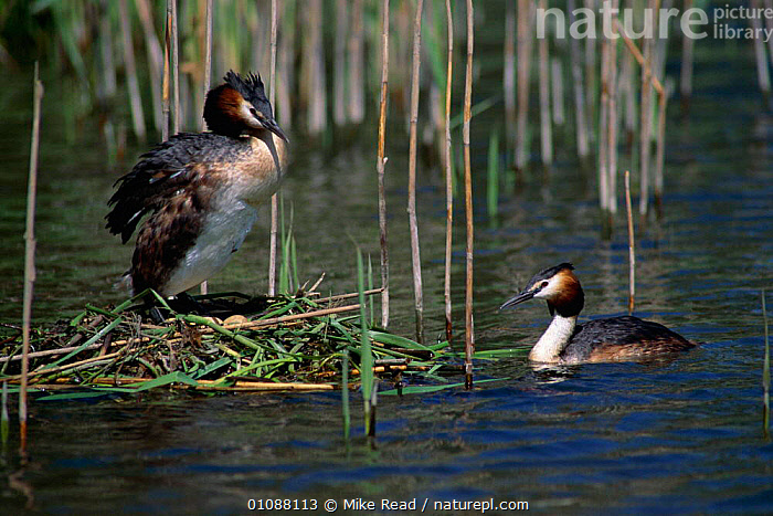 Great crested grebe pair at nest {Podiceps cristatus} River Avon, Hampshire, UK, BIRDS,DIVERS,ENGLAND,EUROPE,MALE FEMALE PAIR,MRE,NESTS,RIVER,UK,WATER,WATERFOWL,WETLANDS,UNITED KINGDOM,BRITISH, Mike Read