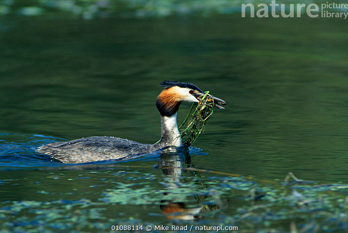 Great crested grebe carrying weed for nest {Podiceps cristatus} River Avon, Hampshire, UK, BIRDS,DIVERS,ENGLAND,EUROPE,MAKING,MRE,NESTING BEHAVIOUR,NESTS,RIVERS,SWIMMING,UK,WATER,WATERFOWL,WEED,WETLANDS,UNITED KINGDOM,REPRODUCTION,BRITISH, Mike Read