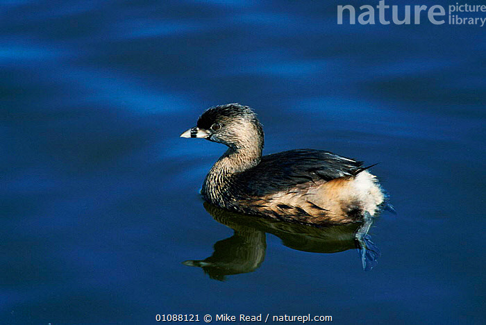 Pied billed grebe {Podilymbus podiceps} Texas, USA, BIRDS,HORIZONTAL,MIKE,MRE,ONE,USA,WATER,WATERFOWL,NORTH AMERICA, Mike Read