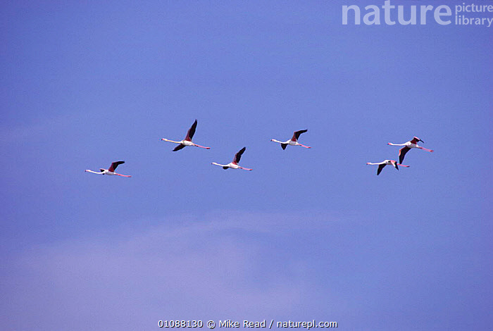 Greater flamingoes in flight {Phoenicopterus ruber} Camargue, France, BIRDS,CAMARGUE,EUROPE,FLIGHT,FLOCKS,FLYING,MRE,SIX,SKY,WADERS, Mike Read