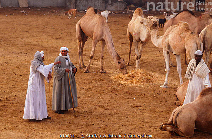 Camel buyers at market, Cairo, Egypt, AFRICA,ARTIODACTYLA,LIVESTOCK,MAMMALS,MARKETS,NORTH AFRICA,PEOPLE,TRADE,TRADITIONAL,TRANSPORT,WORKING,NORTH-AFRICA, Staffan Widstrand