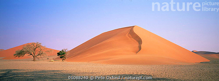 Sand dunes, Sossusvlei, Namibia, Southern Africa, AFRICA,DESERTS,LANDSCAPES,SOUTHERN AFRICA,TREES,Plants,Catalogue1, Pete Oxford