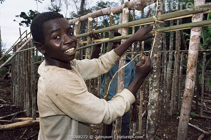Bantu villager constructing house from forest materials, Epulu Ituri NR, Congo, AFRICA,AFRICAN,BUILDINGS,CENTRAL AFRICA,DEFORESTATION,HORIZONTAL,PEOPLE,PORTRAITS,RESERVE,TRADITIONAL , Bruce Davidson, Jabruson