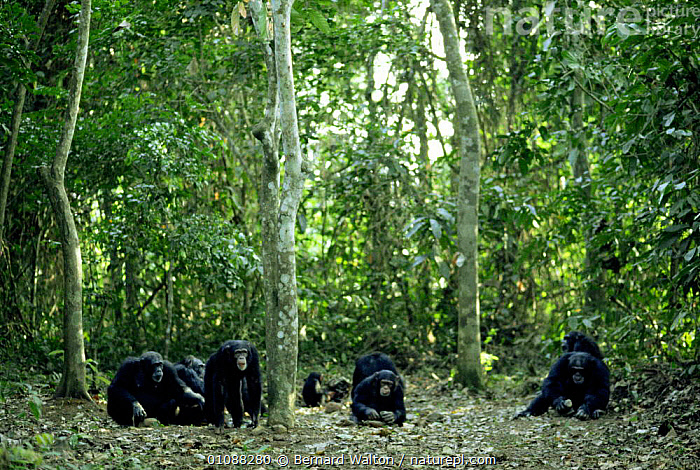 Group of Chimpanzees {Pan troglodytes} nut cracking in rainforest clearing, Guinea, West Africa, AFRICA,BEHAVIOUR,ENDANGERED,FAMILIES,FEEDING,GREAT APES,GROUPS,MAMMALS,PRIMATES,tool using,TROPICAL,tropical rainforest,VERTEBRATES,west Africa, Bernard Walton