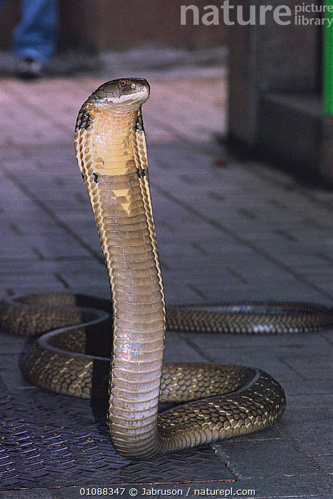 King cobra in strike pose {Ophiophagus hannah} Bangkok, Thailand at Quenn Saovabha mem institute and snake farm, BDA,CAPTIVE,POISONOUS,POSE,REPTILES,SNAKE,SNAKES,SOUTH EAST ASIA,STRIKE,THREAT,VERTICAL,ASIA, COBRAS , Bruce Davidson, Jabruson