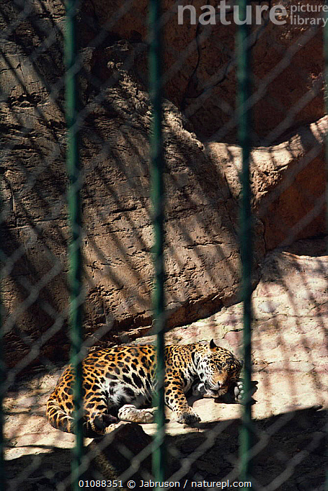 Jaguar resting in zoo cage {Panthera onca} Transvaal, South Africa, AFRICA,BARS,BDA,CAGE,CAGED,CAPTIVE,CARNIVORES,MAMMALS,PARK,SOUTHER AFRICA,VERTICAL,ZOO, Bruce Davidson, Jabruson