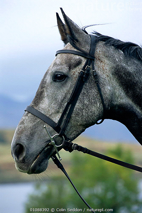 Anglo-arab horse portrait {Equus caballus} Scotland, UK, ANGLO ARAB,BRIDLE,CS,EUROPE,HEAD,HEADS,MAMMALS,PETS,PORTRAIT,PROFILE,PROFILES,UK,VERTICAL,UNITED KINGDOM,BRITISH,EQUINES, United Kingdom, Colin Seddon