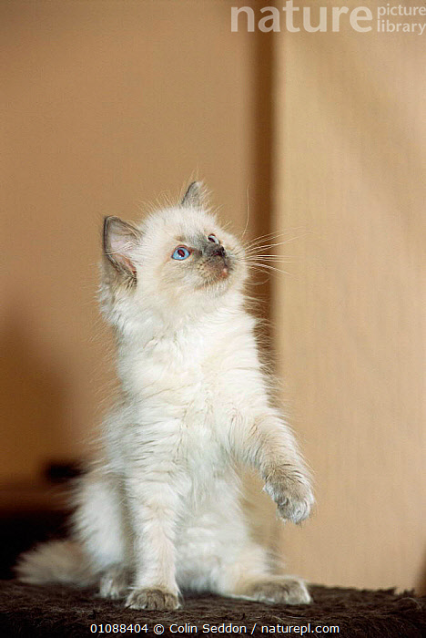 Ragdoll kitten blue colour point playing {Felis catus}, VERTICAL,PETS,PLAY,CATS,BRITISH,EUROPE,Communication, Colin Seddon