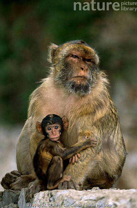 Barbary ape mother with young baby {Macaca sylvanus} Gibraltar, BABIES,EUROPE,FAMILIES,GIBRALTAR,JCA,MAMMALS,PRIMATES,SPAIN,VERTICAL,YOUNG, John Cancalosi