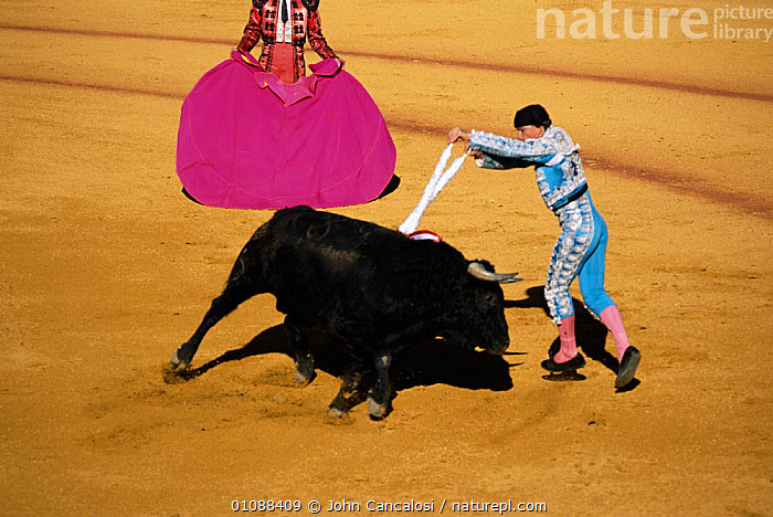 Bull fight, Spain, AGGRESSION,BLOOD,BULLFIGHT,BULLFIGHTING,COLOURFUL,CRUELTY,FIGHT,FIGHTING,HORIZONTAL,JCA,MAMMALS,MATADOR,PEOPLE,TRADITIONAL,Concepts,Europe, John Cancalosi