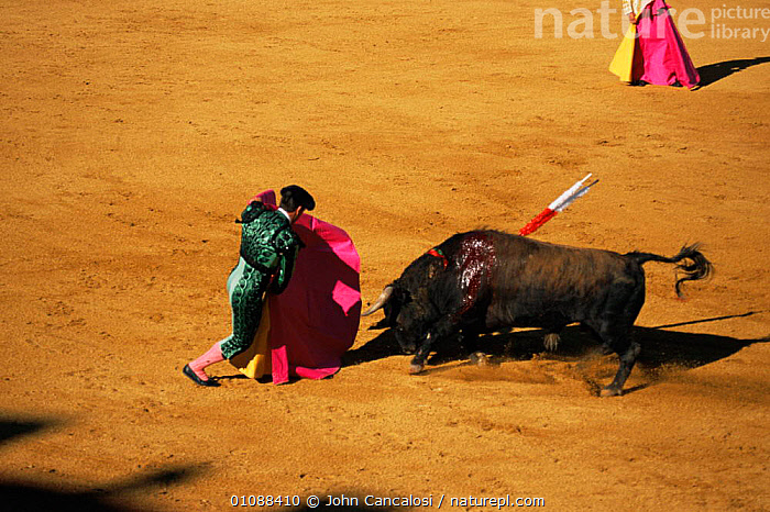 Matador and wounded bull in Bull fight, Spain, bull fighting,CRUELTY,EUROPE,MAMMALS,PEOPLE,SPAIN,TRADITIONAL, John Cancalosi