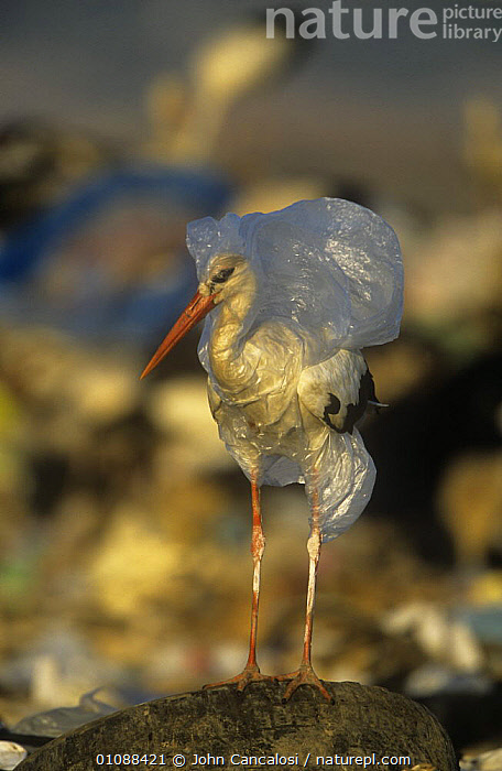 White stork {Ciconia ciconia} caught in plastic rubbish at refuse dump, Spain, BIRDS,ENVIRONMENTAL,EUROPE,HORRIFIC,plastic bag,POLLUTION,REFUSE,SPAIN,STORKS,VERTEBRATES,VERTICAL,WADERS, John Cancalosi
