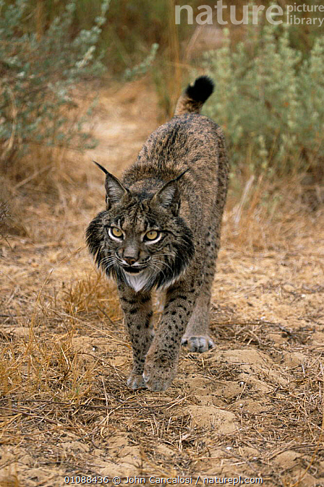 Spanish lynx walking {Lynx pardina} Spain, captive, CAPTIVE,CARNIVORES,ENDANGERED,EUROPE,JCA,MAMMALS,ONE,SPAIN,TAILS,VERTICAL,WALKING, John Cancalosi
