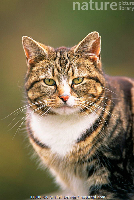 Domestic tabby cat with white bib, portrait {Felis catus}, CARNIVORES,CATS,EUROPE,FACES,HEADS,PETS,PORTRAITS,UK,VERTICAL,United Kingdom,British, Niall Benvie