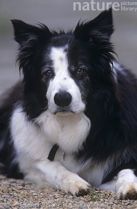 Border Collie portrait {Canis familiaris} Wales, UK, CANIDS,CARNIVORES,DOGS,EUROPE,FACES,HEADS,MAMMALS,PETS,PORTRAITS,UK,VERTEBRATES,VERTICAL,WALES,United Kingdom,British, Geoff Scott-Simpson
