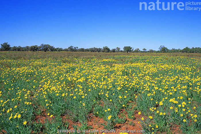 Fleshy groundsel in flower (Senecio gregorii) Simpson Desert, Northern Territory, Australia, AUSTRALASIA,AUSTRALIA,DESERTS,FLOWERING,FLOWERS,HABITAT,LANDSCAPES,NORTHERN,NT,PLANTS,YELLOW, WILLIAM OSBORN