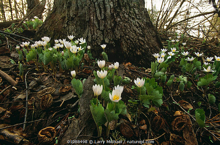 Blood root plant {Sanguinaria canadensis} flowering at base of Oak tree Wisconsin, USA, DICOTYLEDONS,FLOWERS,HORIZONTAL,PAPAVERACEAE,PLANTS,POPPY,TREES,TRUNKS,USA,WOODLANDS,North America, Larry Michael