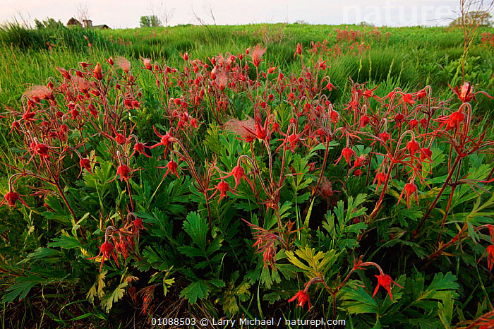 Prairie smoke flowers and seedheads {Geum triflorum} Wisconsin, USA, North America, FLOWERS,GRASSLAND,HORIZONTAL,LANDSCAPES,LM,NORTH AMERICA,PLANTS,RED,SEEDS,USA, Larry Michael