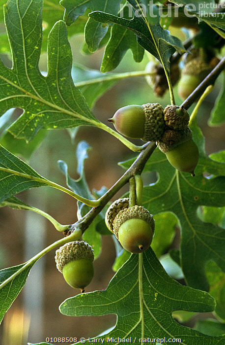 White oak with acorns {Quercus alba} Wisconsin, USA, DICOTYLEDONS,FAGACEAE,FRUIT,LEAVES,PLANTS,SEEDS,TREES,USA,VERTICAL,WHITE,North America, Larry Michael
