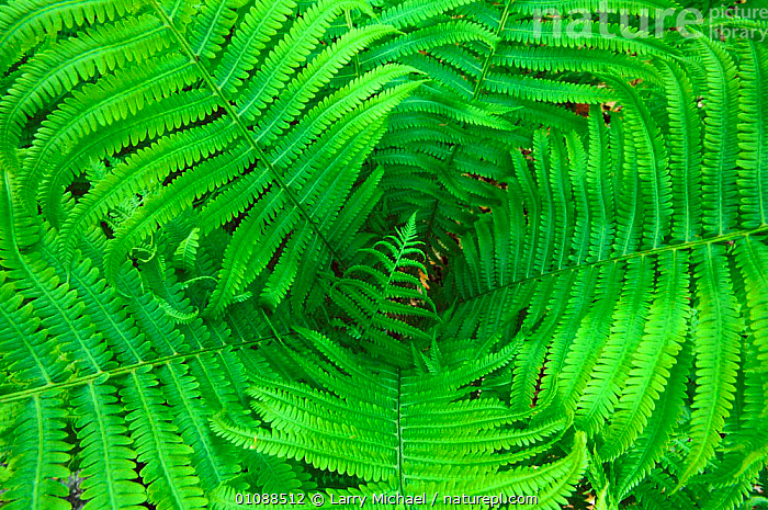Lady fern fronds {Athyrium filix femina} Wisconsin, USA, North America, ABSTRACT,ARTY SHOTS,CENTRE,FERNS,GREEN,HORIZONTAL,LEAF,LEAVES,LM,PATTERNS,PLANTS,USA,NORTH AMERICA, Larry Michael