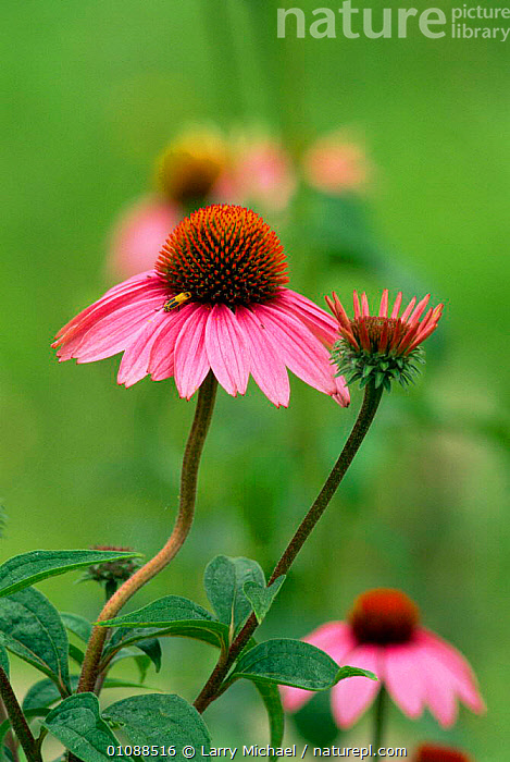 Black sampson coneflower {Echinacea purpurea} + Soldier beetle. {Chauliognathus pennsylvanicus} Wisconsin, USA, FEEDING,FLOWERS,INSECTS,LM,MEDICINAL,PLANTS,POLLINTATION,PURPLE,USA,VERTICAL,NORTH AMERICA,INVERTEBRATES, Larry Michael