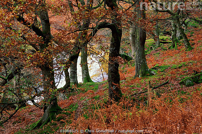 Sessile oak tree {Quercus petraea} and mountain stream in autumn. Wales, UK, AUTUMN,BRITISH,CGO,EUROPE,HANGING,HOLM,HORIZONTAL,LANDSCAPES,RIVERS,STREAMS,TREE,TREES,UK,WALES,WOODLAND,WOODLANDS,UNITED KINGDOM,PLANTS, Chris Gomersall