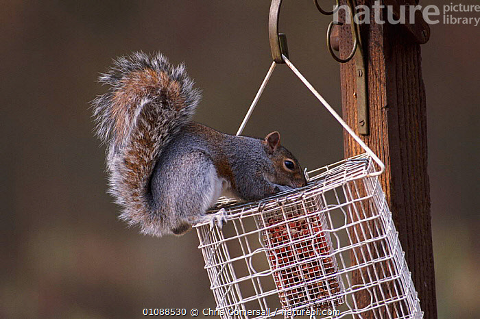 Grey squirrel on 'squirrel proof' bird feeder. {Sciurus carolinensis} UK, BIRD,CGO,CHRIS,ENGLAND,EUROPE,FEEDER,FEEDERS,GARDENS,HORIZONTAL,MAMMALS,RODENTS,UK,UNITED KINGDOM,BRITISH, Chris Gomersall
