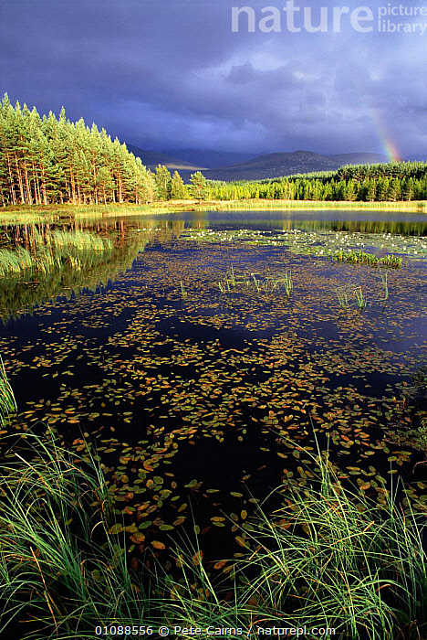 Loch and pine forest in stormy light Strathspey, Scotland, UK, BRITISH,CLOUDS,EUROPE,FOREST,HIGHLANDS,LAKE,LAKES,LANDSCAPE,LANDSCAPES,LOCH,PCA,PETE,PINE,PLANTS,RAINBOW,SCENIC,STRATHSPEY,TREES,UK,UNITED KINGDOM,VERTICAL,WEATHER,SCOTLAND, United Kingdom, Pete Cairns