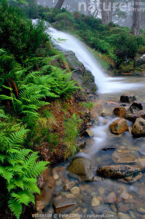 Waterfall in pine forest Strathspey, Highlands, Scotland, UK, BRITISH,CONIFEROUS,EUROPE,FERNS,FOREST,HIGHLANDS,LANDSCAPES,PCA,PLANTS,RIVERS,ROCKS,STONES,STREAMS,UK,UNITED KINGDOM,VERTICAL,WATER,WATERFALLS,SCOTLAND, United Kingdom, Pete Cairns