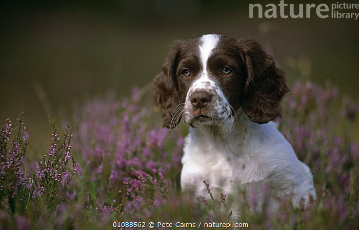 Springer spaniel puppy amongst heather {Canis familiaris} Scotland, UK, BABIES,CANIDS,CARNIVORES,DOGS,EUROPE,HEADS,HEATHLAND,JUVENILE,MAMMALS,PETS,PORTRAITS,SCOTLAND,SPRING,UK,VERTEBRATES,YOUNG,United Kingdom,British, United Kingdom, Pete Cairns